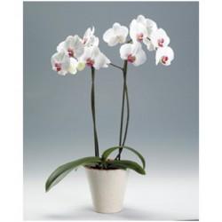 phalenopsis 2 varas