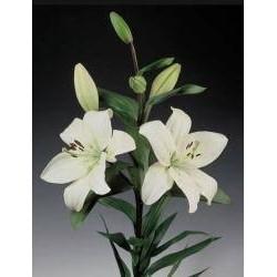 Lilium Asiático