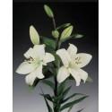 Lilium Asiático Blanco