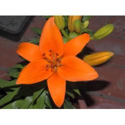 lilium Asiçático Naranja