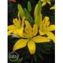Lilium Asiático Amarillo UNIDAD