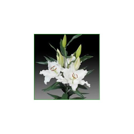 Lilium Oriental Unidad