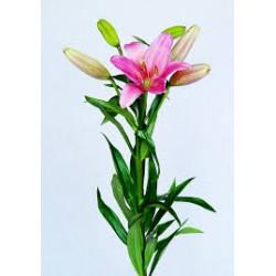 Lilium Asiático Rosa