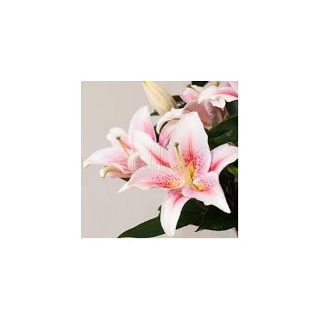 Lilium Oriental Rosa UNIDAD
