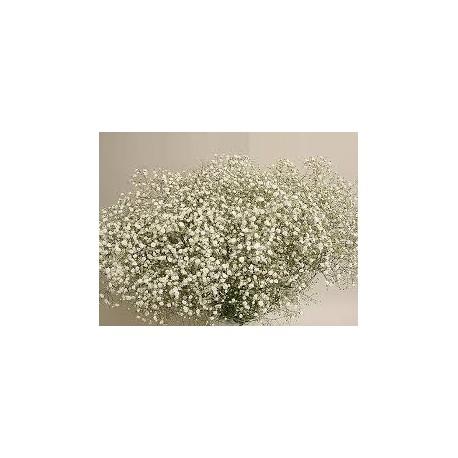 Paquete Paniculata blanca