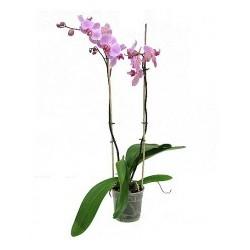 Orquidea morada
